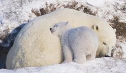 Белый медведь России. Фото